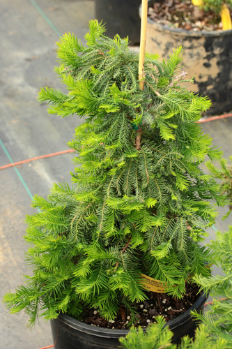This slow-growing deciduous conifer was found as a witch's broom by Bill Barger. It was named for its feathery appearance and Bill Barger's son, Cody.