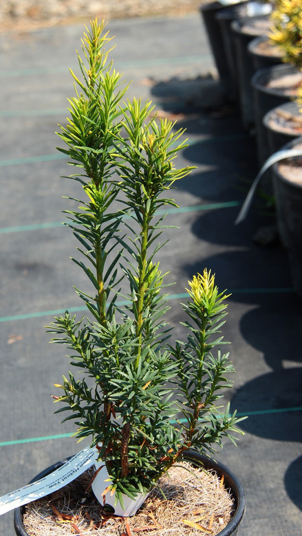 A slender, upright conifer with wide, dark-green needles. Found and introduced by Joe Reis and named for his wife, Maureen.