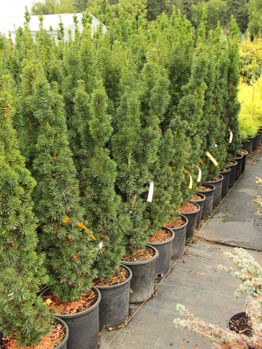 """This dense, columnar conifer has dark green foliage and a tight, fastigiate growth habit. A very unique plant that makes an """"exclamation point"""" vertical accent in the landscape."""
