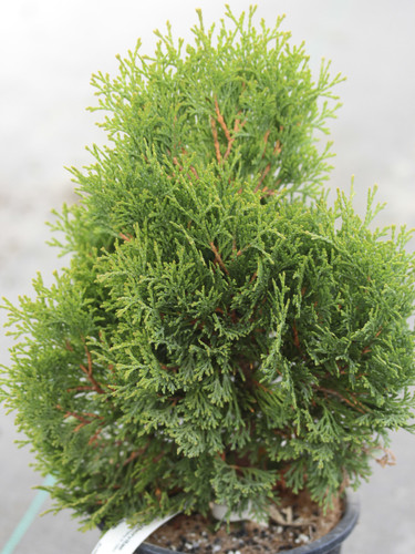 A globe-shaped conifer with bright green foliage. Limbs are rusty orange in color. Originated in Germany in 1984.