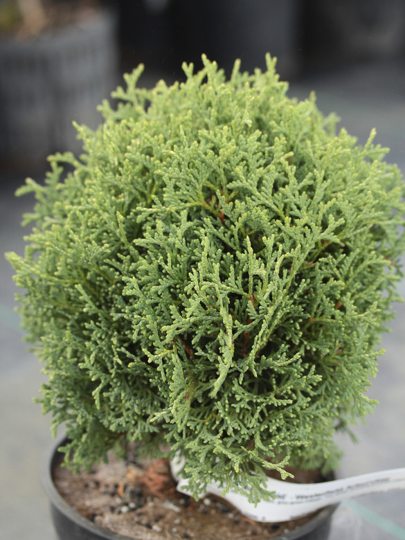 A dense, globose conifer with congested, dark, gray-green foliage. The winter bronzing provides interesting coloration even in the cold months.