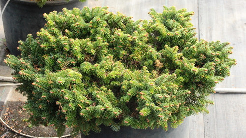 A very compact, low-growing fir with short, bright green foliage. Found