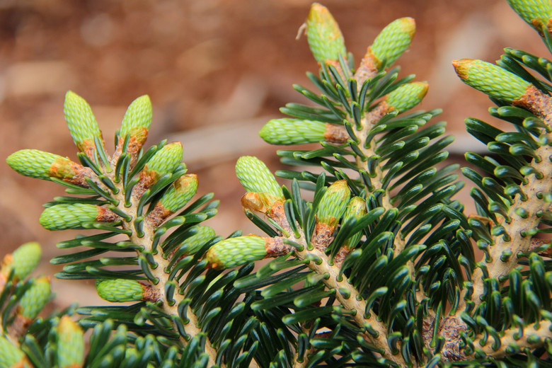 This dwarf fir was found as a witch's broom on a hybrid tree. Thick, dark-green needles show two distinct lines of silver-white stomata.