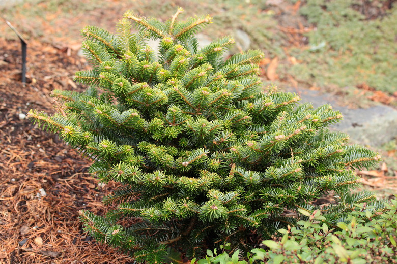 In Europe, Abies nordmanniana and Abies cephalonica, the Nordmann and Greek Firs, often cross-breed, resulting in hybrid trees in Turkey. Barney has outstanding silver branches with dark-green needles and orange buds. Possibly the same as 'Franke'.