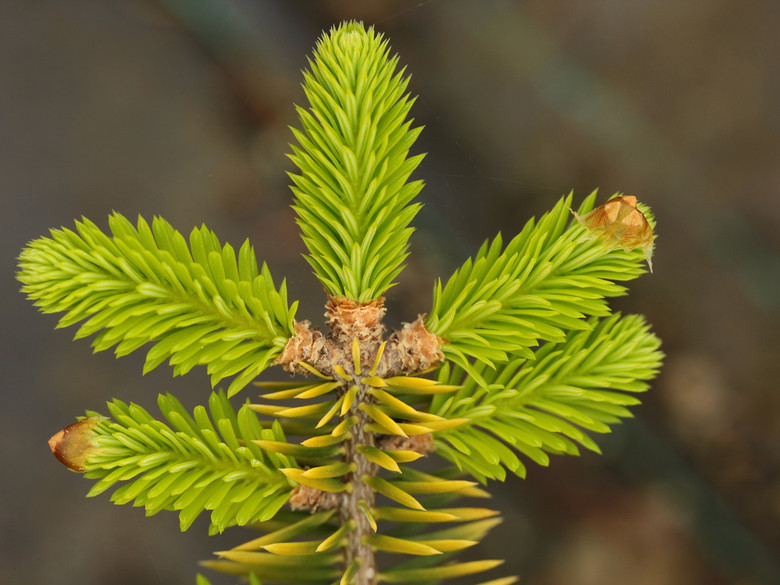 Pointed needles on this slow-growing fir have a unique golden frosting color. It was discovered by Elemer Barbabits from Sopron, Hungary in 1965.