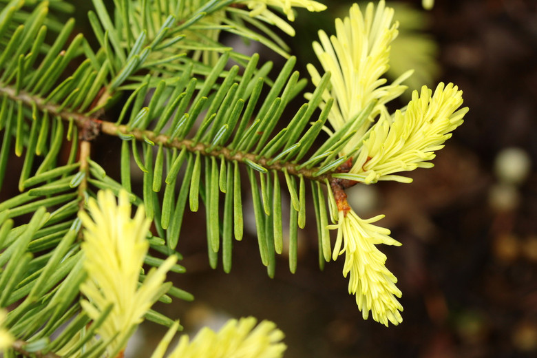 A fairly low-growing fir with white new growth that burns in sun. A beautiful variety with delicate foliage and a unique coloration.