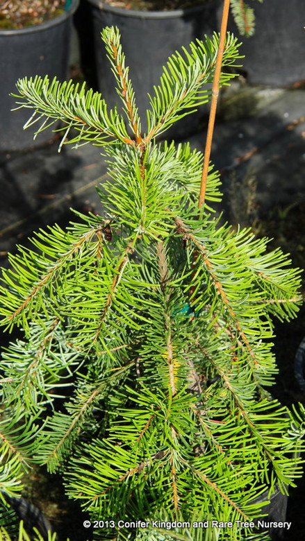 Needles are arranged in a distinctive fashion on this species of fir, fanning out to opposite sides of each branch. The unique foliage and strict weeping habit makes this conifer exceptional. If staked, it will form a narrow, upright tree; otherwise, forming a spreading mound.