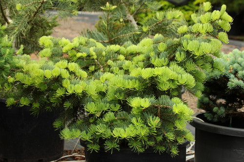 Light, blue-green needles give this dwarf fir a lovely coloration and semi-globose form.