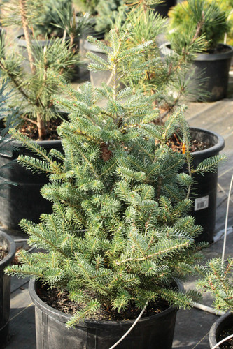 A rare, slow-growing fir selected at a nursery in Holland. Light, yellow-green new growth becomes silver-blue later in the year. Needs to be staked to form a pyramidal tree.