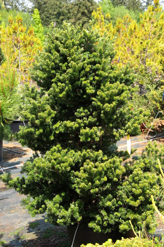 Abies koreana 'Freudenberg' _ Korean Fir _