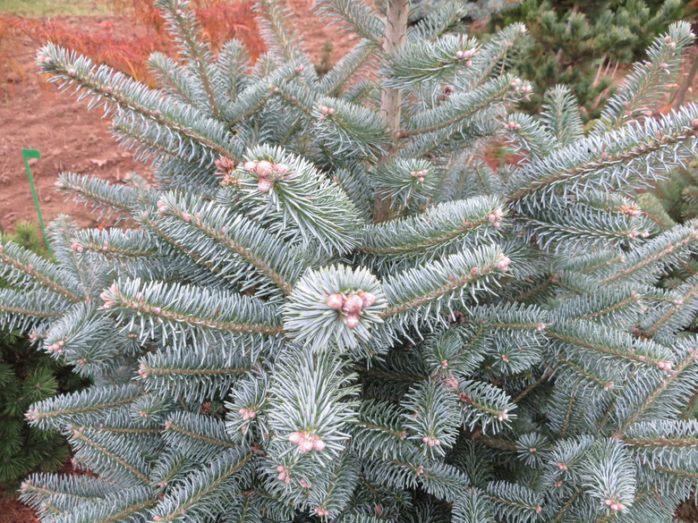 Powder-blue foliage on this upright, pyramidal tree is a stunning color throughout the year. This tree is a hybrid between the Subalpine fir (lasiocarpa) and Korean Fir (koreana).