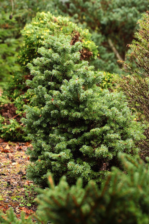 Silvery, bluish-green needles are arranged on short, stubby branches. This dwarf fir has a marvelous alpine appearance, and it will very slowly develop into a dense, squat pyramid.