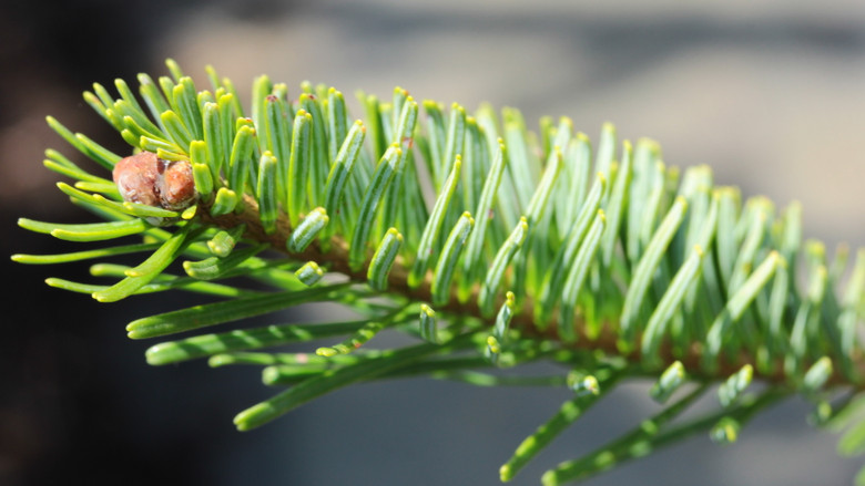 A rare fir native to the mountains of Japan. Not much is known about this new variety, but the thin needles have a bright green color and resinous buds in the winter.