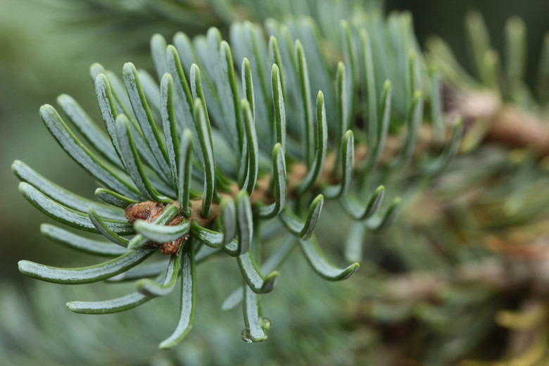 Stunning, silver-blue foliage on this narrow weeping fir is very attractive. The pendulous branches make the stomatal bands on the reverse of the needles even more visible. An excellent yet very uncommon selection!