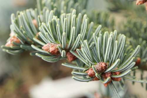 This slow-growing fir was found as a witch's broom. Dark-green foliage has fairly prominent, silver-white undersides. A delightful dwarf with distinctive orange-brown winter buds. Can develop a dense, squat, pyramidal form with age.