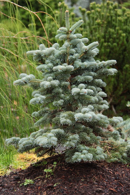 This slow-growing for will form a lovely pyramid shape as it matures. It has quite long, bright blue foliage that is very soft. A beautiful but uncommon variety.??????_???????????????__