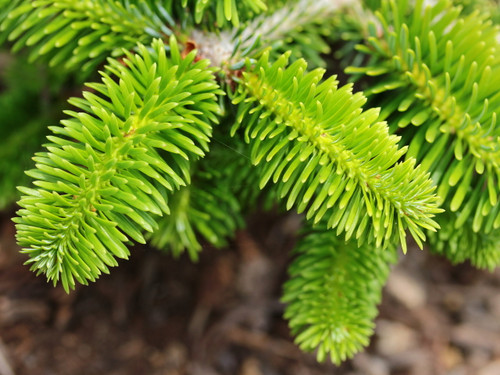 Very short, dark-green needles create a handsome backdrop for showy orange-brown buds at the branch tips of this miniature fir. As it matures, silver branches exposed at the surfaces of the plant give a skeletal look to this conifer.