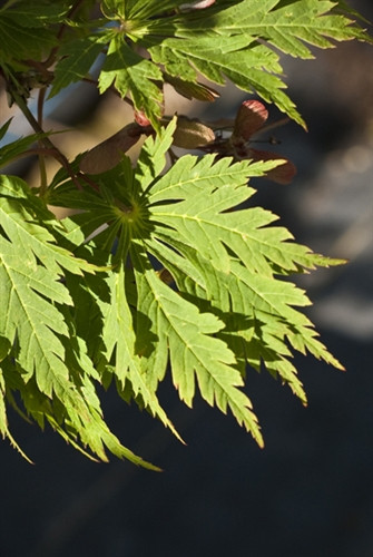 "Large green leaves are deeply divided, hence the occasionally used name ""fern leaf.""  Spring leaves are pubescent and typically emerge with a profusion of red to burgundy flowers.  Fall color is possibly the most spectacular of all maples, hence the name ""dancing peacock.""  Fall colors are brilliant crimson to orange."