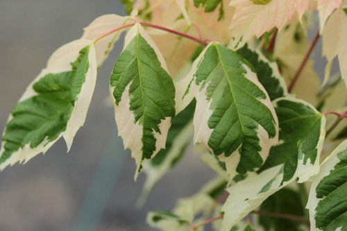 This unique maple has leaves that are in groups of three, emerging in spring with bright pink margins, later maturing to white margins and green centers.