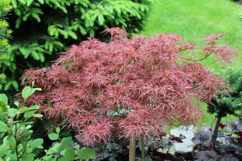 The small, finely dissected leaves of this slow-growing laceleaf Japanese maple are very thin and delicate so many layers of colors show through. Spring growth emerges reddish-orange and quickly changes to bronzy green with purple-burgundy margins for summer. Fall color is fantastic orange-red. Sensitive to wind, 'Baby Lace' should be planted in a protected location.