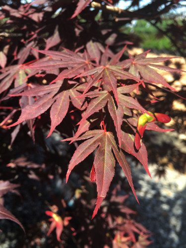 Beautiful, deep red lacy leaves on this slow-growing, maple are borne on thin, dainty branches. Fall color is fantastic! A new, patented introduction from Jackson Nursery.