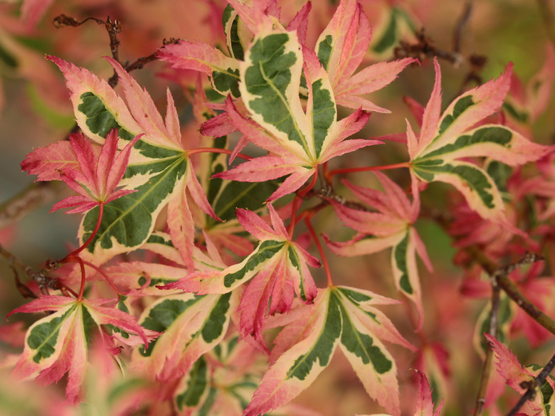 More pink and white are present on the leaves of this small, bushy tree than the photosynthesizing green color. This attribute lends to its slow growth rate, and the fringed margins add a delicate texture, making it an astounding beauty in any landscape.