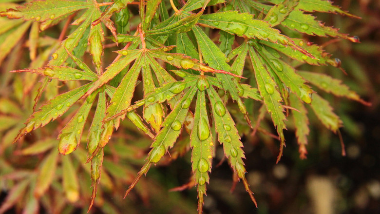 Thin-lobed leaves are primarily red, having a delicate appearance. An uncommon variety that is fairly new to the trade.