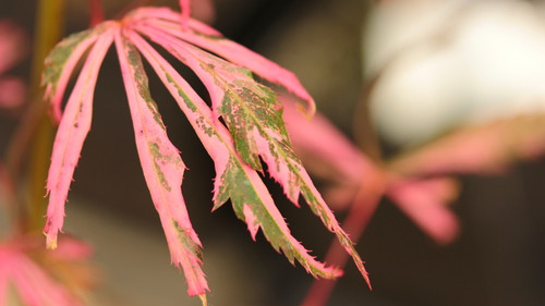 Excellent variegation accents the burgundy-red leaves of this new selection. Creamy-pink variegation is splashed throughout the delicate leaves of this slow-growing maple, giving it an exciting color combination!