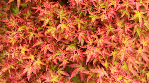 This low-growing maple has a nice dwarf, rounded form with small, reddish-green leaves. The gorgeous coloration and unique form make it an outstanding, semi-dwarf Japanese Maple!
