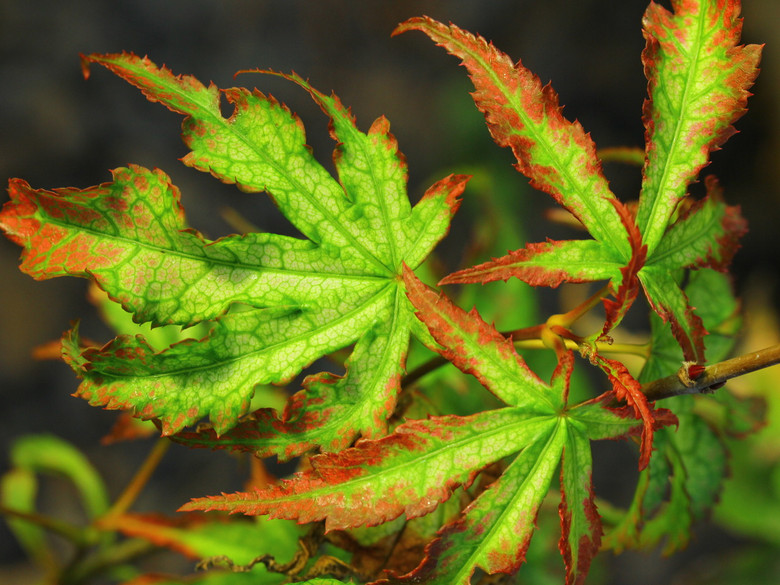 A brand new variety from Crispin Silva, Molalla, OR! The unique foliage of this maple combines the attributes of the ghost series, a stunning reticulation, but also has the bright red-tipped lobes of 'Tsuma gaki'. It is believed to be a hybrid of two such cultivars.