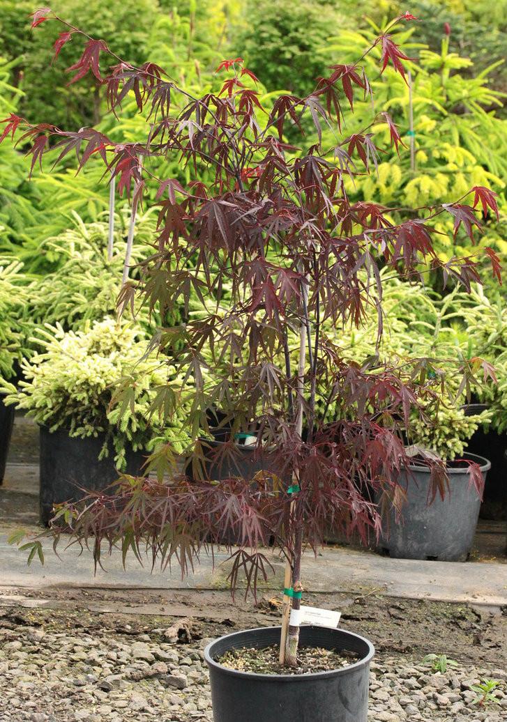 Acer Palmatum Pung Kil Japanese Maple Conifer Kingdom