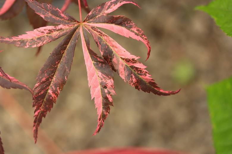 This beautifully-variegated maple has a swirled pink and reddish-purple color. A slightly more random variegation but similar coloration to 'Geisha'. An exciting new variety that is colorful every time of the year!