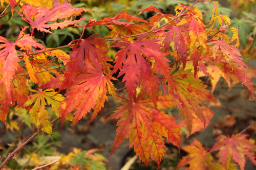Lightly-colored leaves are finely-toothed. New growth emerges a creamy yellow color, tipped in red. As the foliage matures, it becomes more greenish with darker-colored veins persisting. Fall color is mostly orange and red with lighter-colored reticulation.