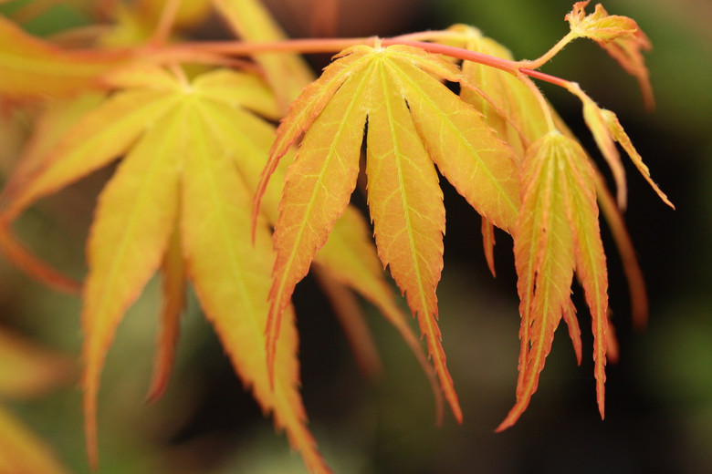 This beautiful maple has fabulous coloration throughout the seasons. New growth emerges a beautiful orange-yellow color, later fading to a more subtle green color during summer. Finally, crimson-red in fall! Will develop as a small tree with a broad canopy.