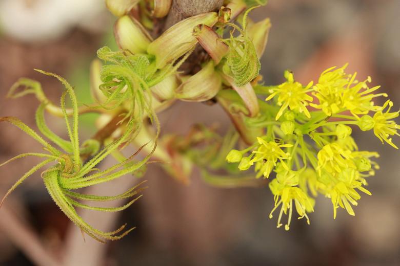 Acer platanoides 'Paldiski'