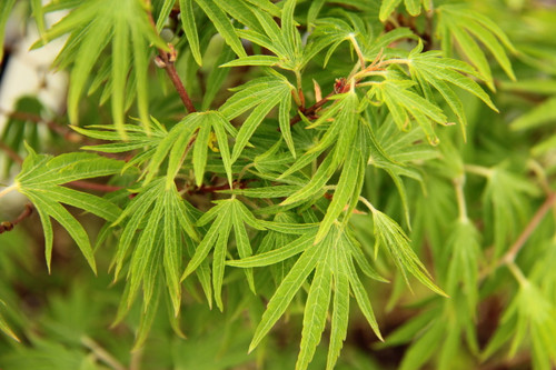 Acer sieboldianum 'Shoryu no tsume' _ Siebold Maple _