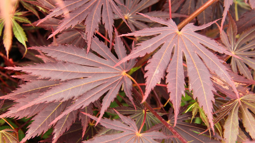 This relatively new variety of maple was found at Esveld Nursery in the Netherlands and named for the founder's daughter, Mirte Yasemin. Deeply-lobed leaves have slightly serrated edges and a rich burgundy-red coloration. Purple color in summer and crimson red in fall give this tree a colorful and unique appearance year-round.