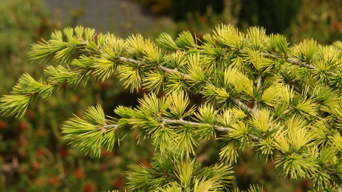 A slow-growing cedar with cream to silver-colored new growth. An uncommon variety that is quite unique.