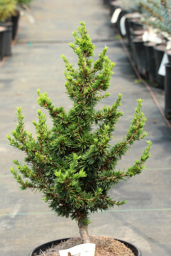 Remarkably short, dark-green needles are borne on ascending, stout branches on this miniature, upright conifer. Its growth habit and foliage are something very unique, making this a delightful rock garden conifer.