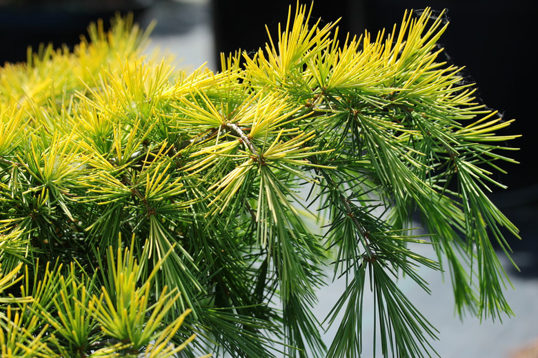 This low-growing cedar was found as a golden branch mutation on Cedrus deodara 'Feelin' Blue'. A similar blue-green foliage undertone is present but with a beautiful golden-yellow frosting on sun-exposed areas!