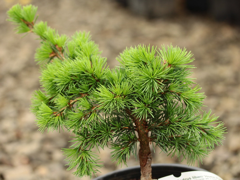 A low-growing cedar with a dwarf growth rate and bright green foliage. Slightly arching branches and a flattened top make this cedar a unique conifer.