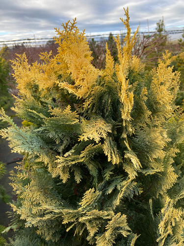 Light, golden-yellow foliage on this narrow, upright conifer is soft to the touch. Found as a mutation on 'Columnaris' in The Netherlands.