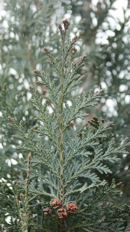 Bright silvery-blue foliage is soft to the touch, brightening up the landscape year-round. The narrow habit and graceful texture of this plant make it a welcomed addition to most any garden space.