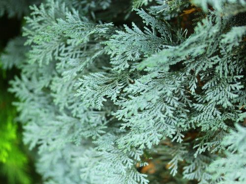 Chamaecyparis lawsoniana 'Pembury Blue' _ Lawson Cypress _