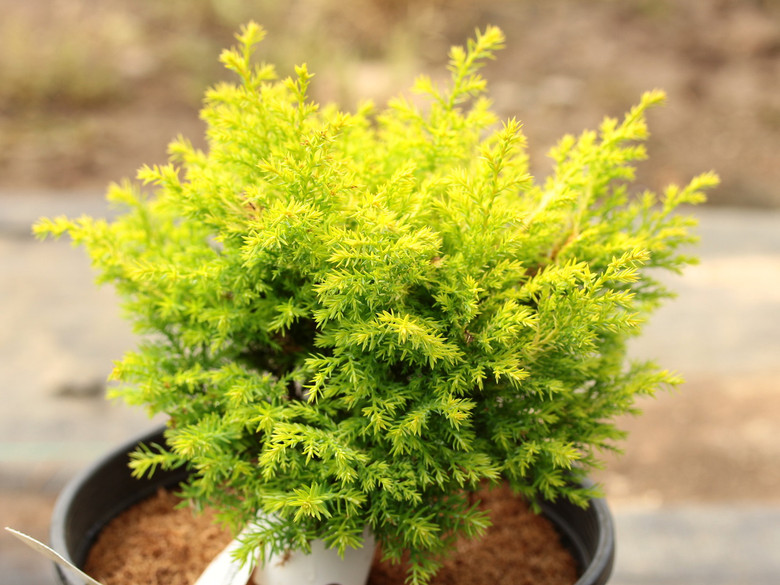 A slow-growing conifer with bright gold soft-textured foliage.