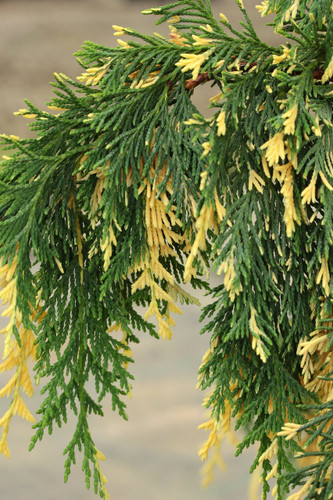 This pyramidal, pendulous tree has graceful foliage with creamy-yellow foliage distributed throughout. A beautiful form and coloration on this rare selection from Poland! This species was formerly and is still commonly thought to be in the Chamaecyparis genus. However, it readily hybridizes with other species of Cupressus and bears many similarities, so it is now taxonomically classified as a species of Cupressus. In the past, it was also known as Xanthocyparis nootkatensis and Callitropsis nootkatensis.