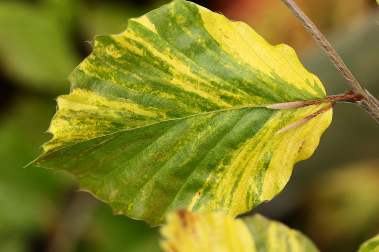 This tree has a really nice yellowish/white marbling on typical-sized green leaves. A very uncommon variegated form named by George Okken.