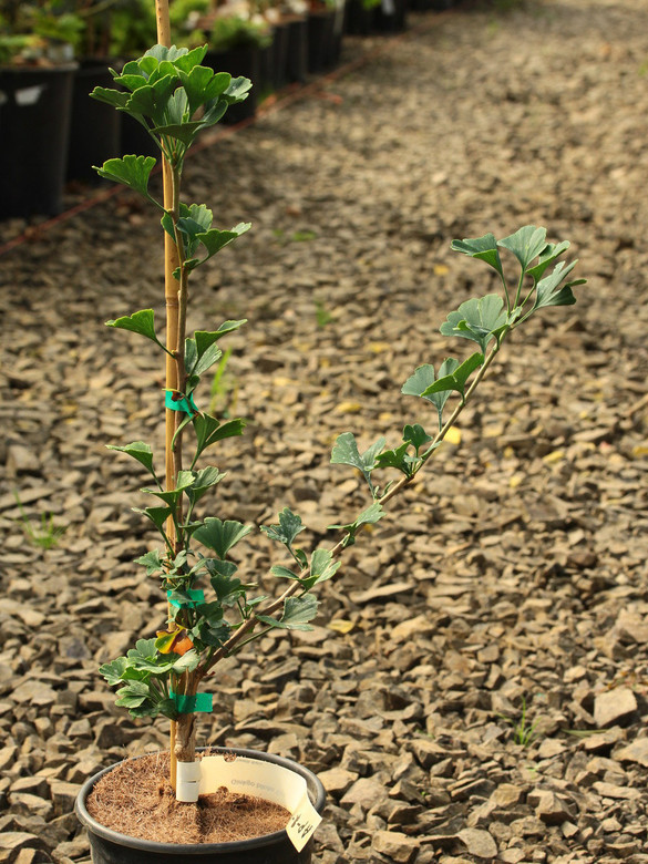Tiny leaves are arranged artfully on a short branches of irregular lengths, giving this dwarf ginkgo a unique sculptural appearance. An excellent selection for use in bonsai!