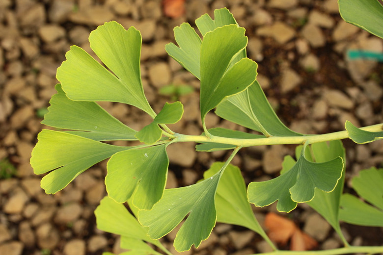 This low, spreading variety of Ginkgo has a really unique form! Delicate leaves parade along the ground on horizontal branches.
