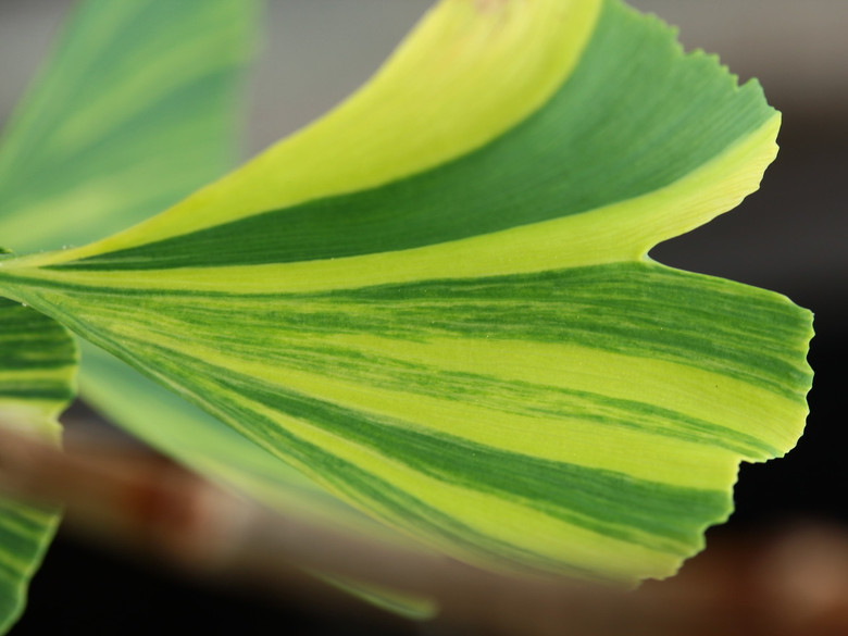 An uncommon variety from Europe with spectacular variegation that looks like creamy-yellow fingers on each leaf.